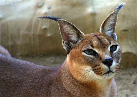 Wild Cats: The Caracal – kimcampion