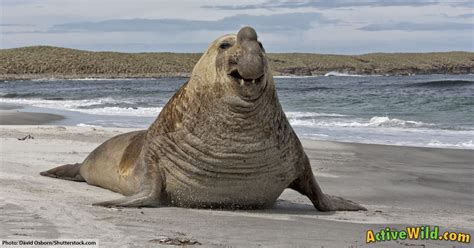 Southern Elephant Seal Facts For Kids & Adults: Pictures