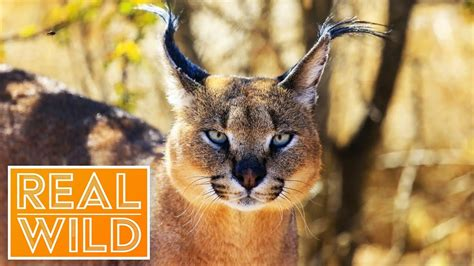 Top Cat [Caracal Documentary] | Real Wild - YouTube