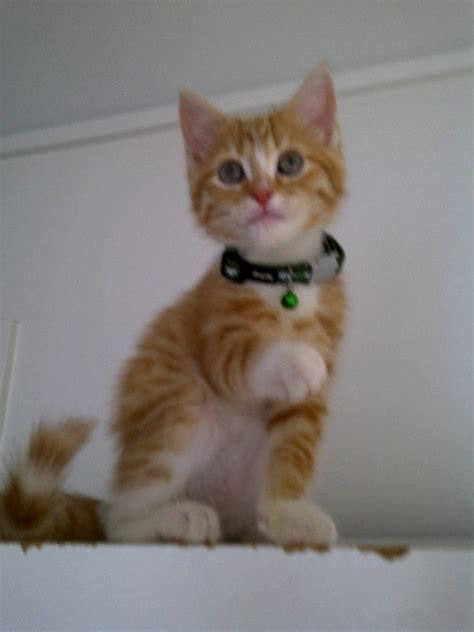 cute ginger male kitten for sale - Sydney - Cats for sale