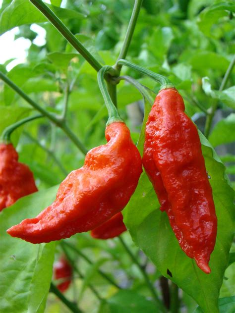 22 of the world's hottest peppers (and where to eat them)