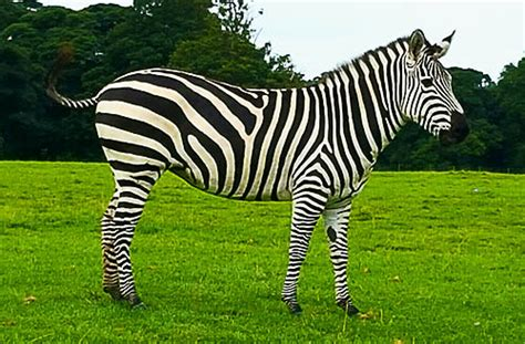 Ten facts about Zebras