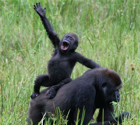"""""""Planet of the Apes"""" Discovered in Republic of Congo"""