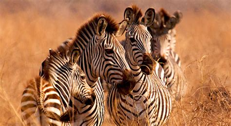 Basic Facts About Zebras   Defenders of Wildlife
