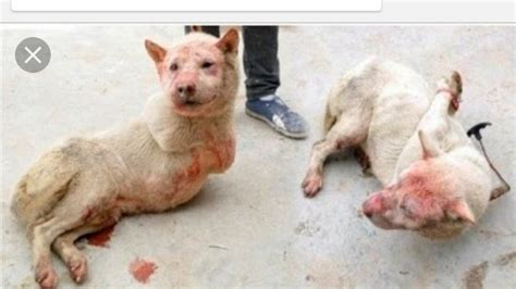 Petition · STOP YULIN DOG EATING FESTIVAL! They are the