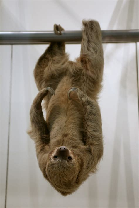 Two Toed Sloth (Choloepus didactylus) | Found in the