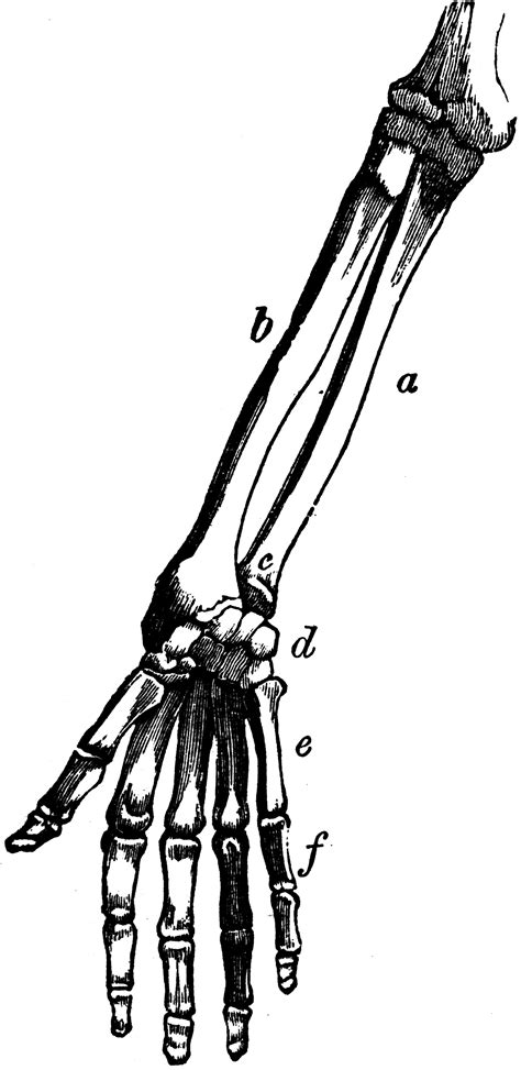 Bones of the Arm and Hand   ClipArt ETC